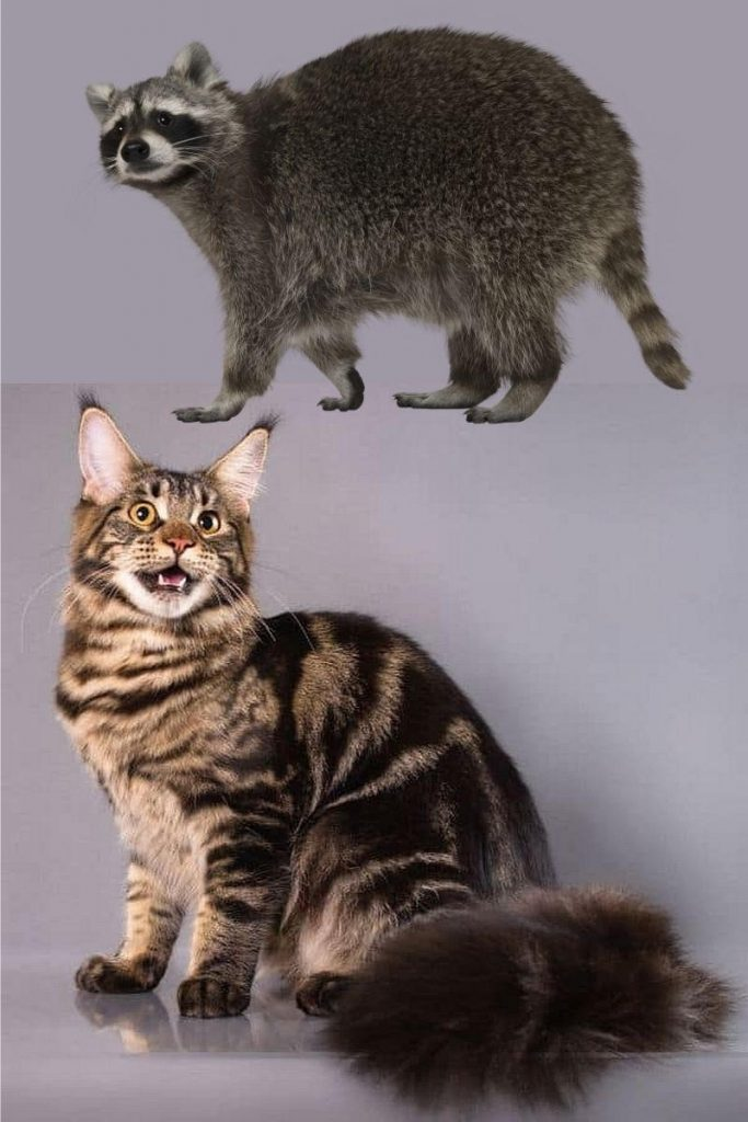 A raccoon compared to a tabby Maine Coon.