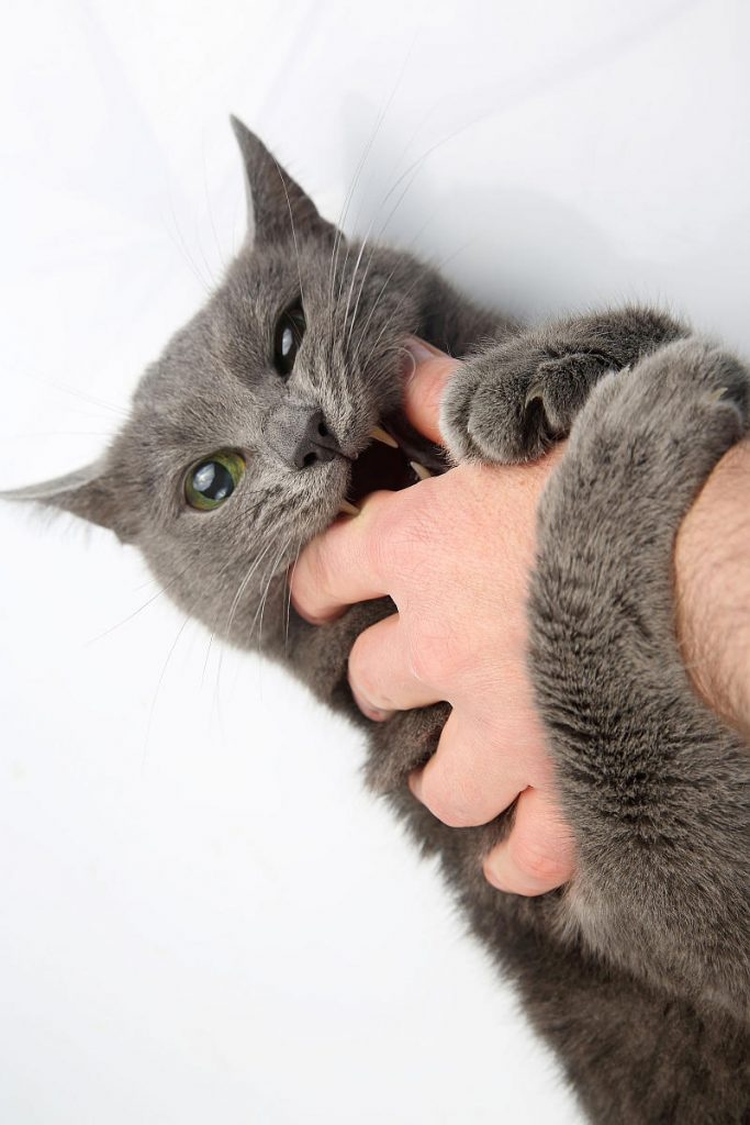 A grey cat biting someone's hand.