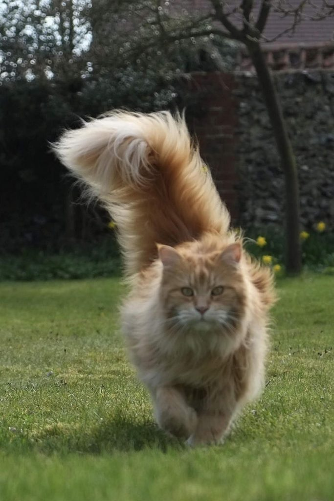 A big red tabby Maine Coon with a fluffy tail held high.