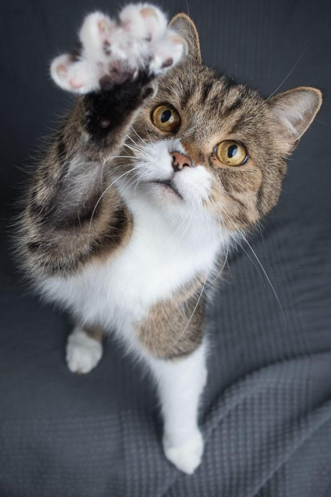 A tabby and white cat stretching one paw up and forward.
