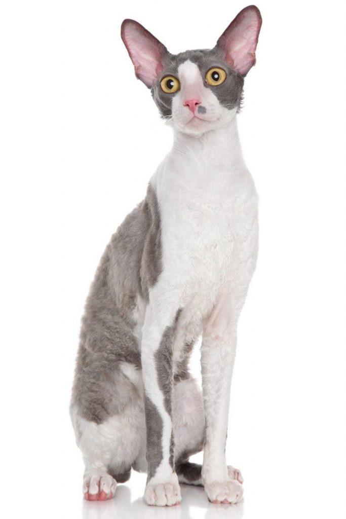 A grey and white Cornish Rex cat seated.
