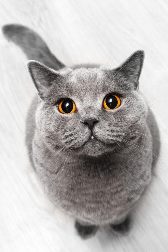 A grey cat with orange eyes sitting down and looking up.