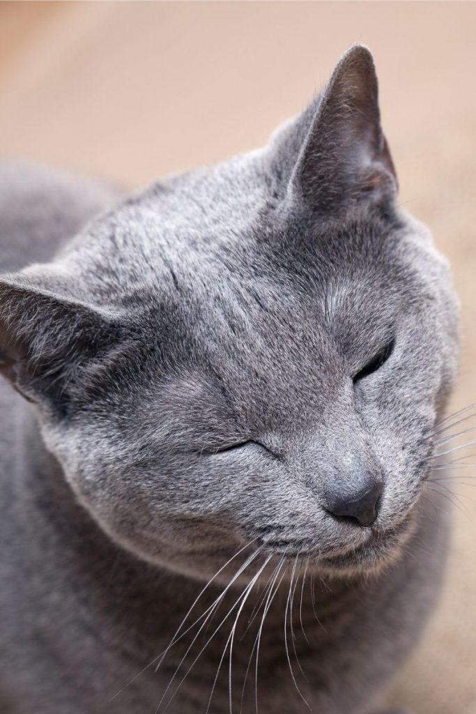 A closeup of a grey cat blinking slowly.