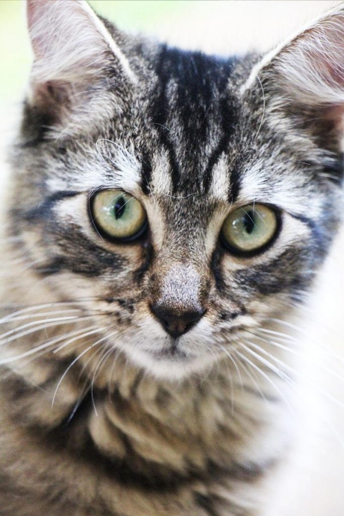 Closeup of a grey tabby cat with an M on its forehead.