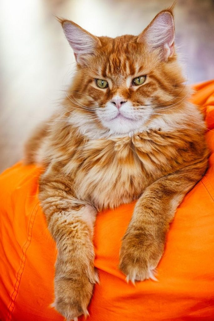 A large red tabby Maine Coon on an orange cushion.