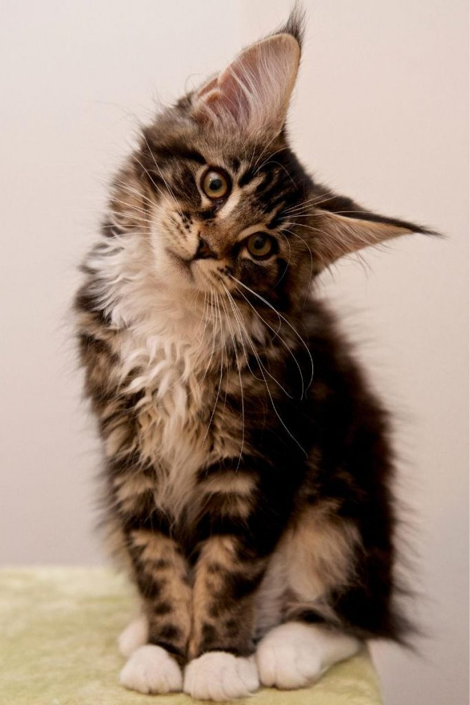 A tabby Maine Coon kitten sitting with its head tilted to one side.