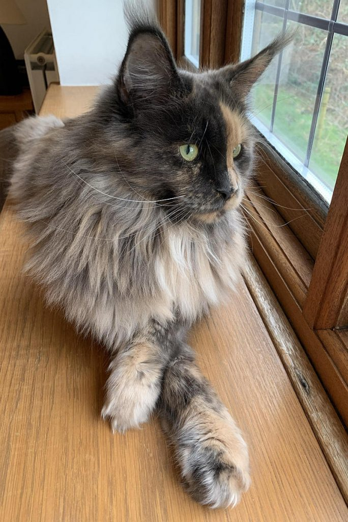 A tortoiseshell Maine Coon with her front paws crossed.