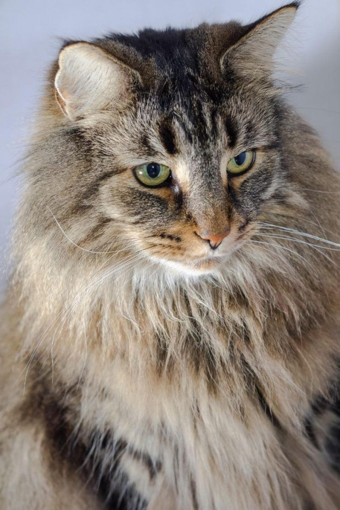 Closeup of a Norwegian Forest cat with green eyes.
