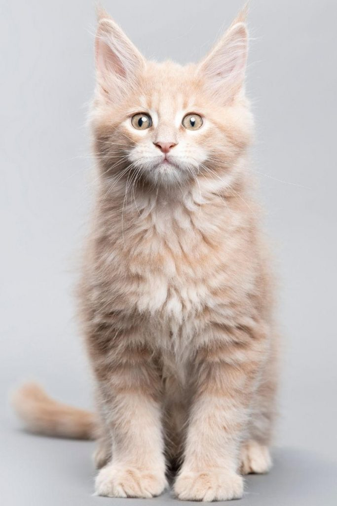 A small red tabby Maine Coon seated.