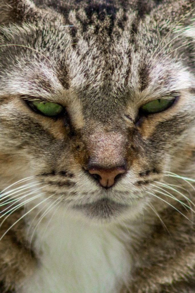 Closeup of a tabby cat's face.