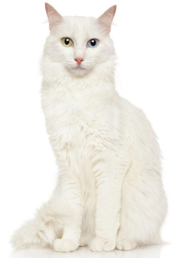 A white Turkish Angora cat with odd eyes.