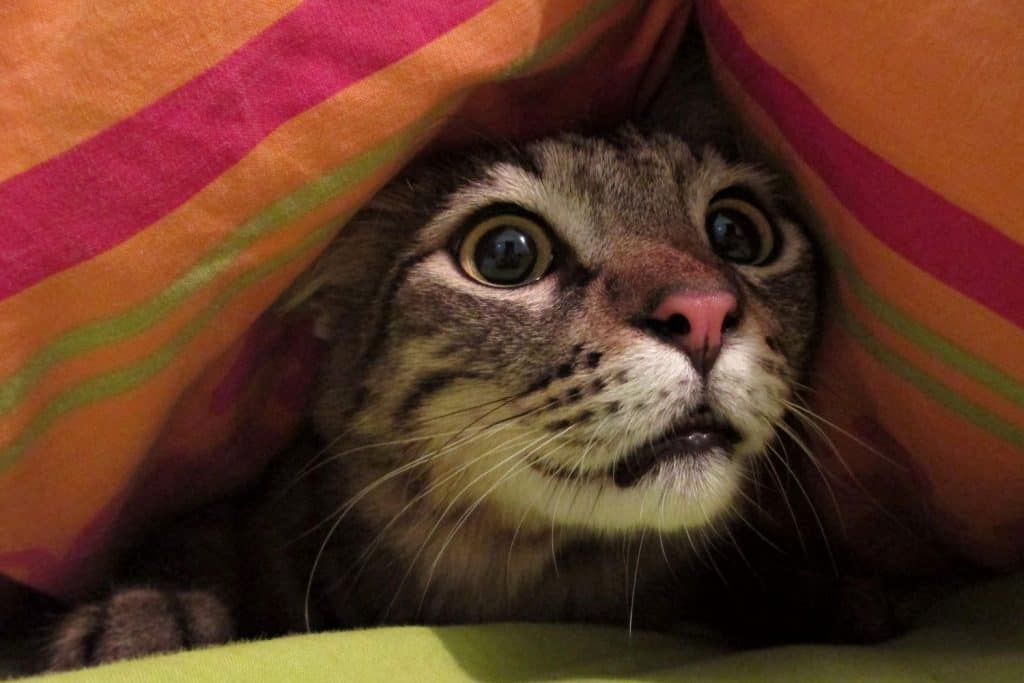 A stressed and anxious cat under a blanket.