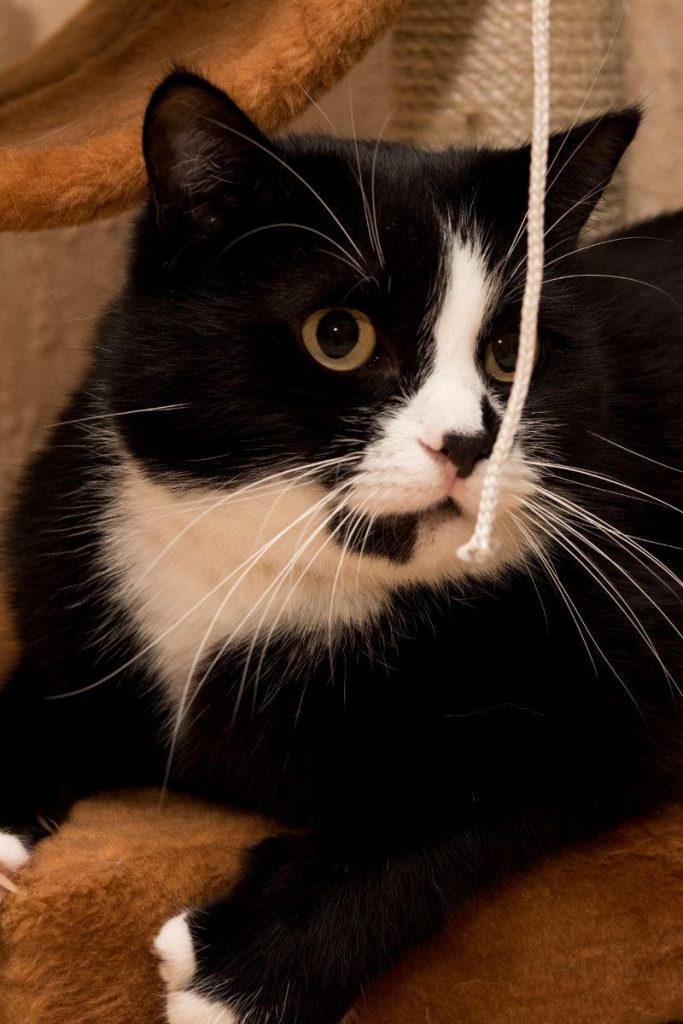 A black and white cat with a piece of string.