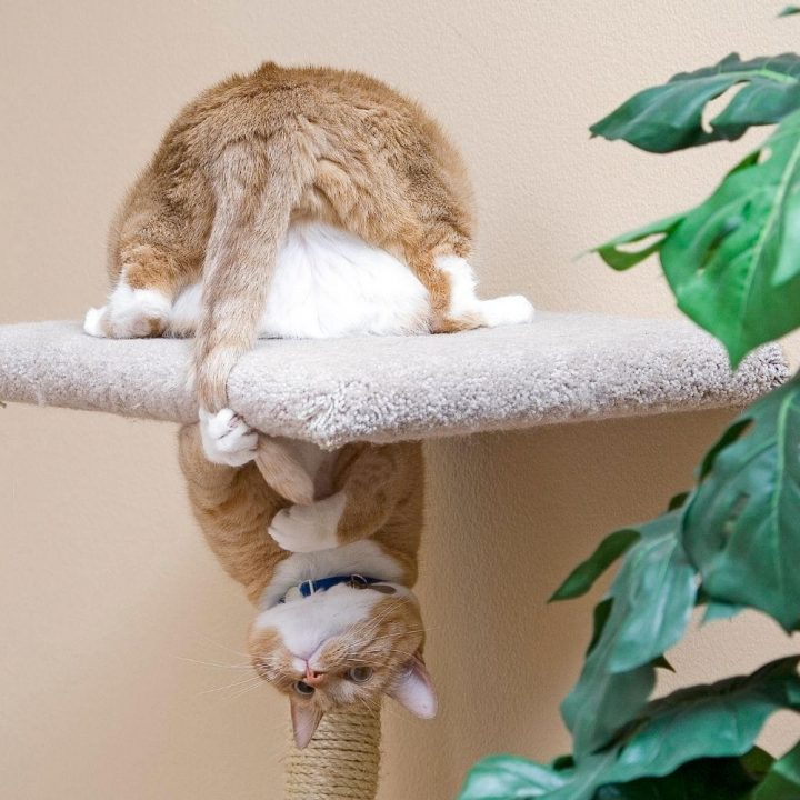 Ginger cat chasing its tail.