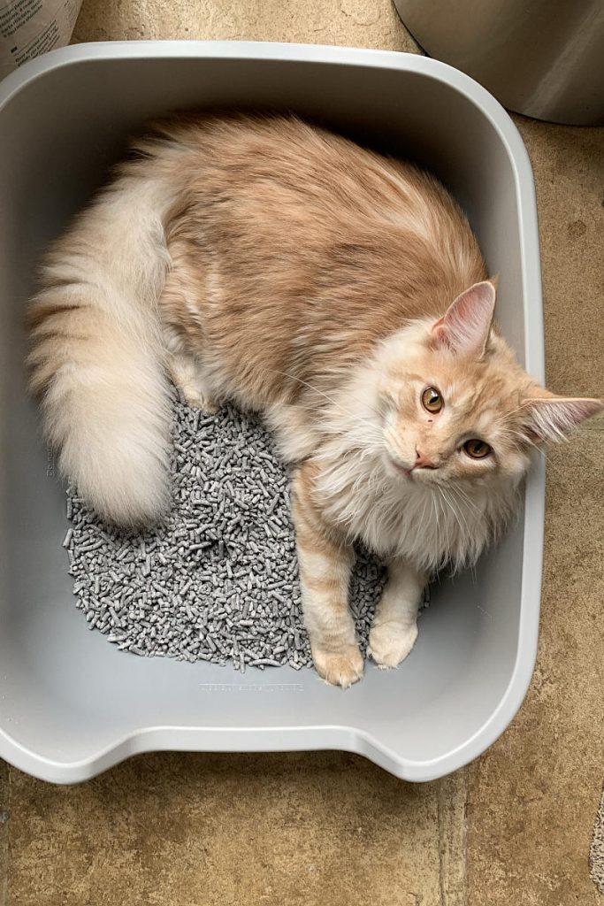 A cat lying in its litter box.