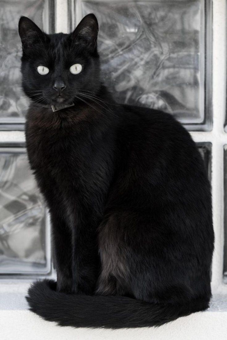 A seated black cat.