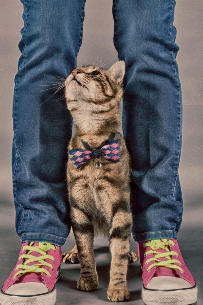 A tabby cat in a bow tie, standing between its owners feet and looking up.
