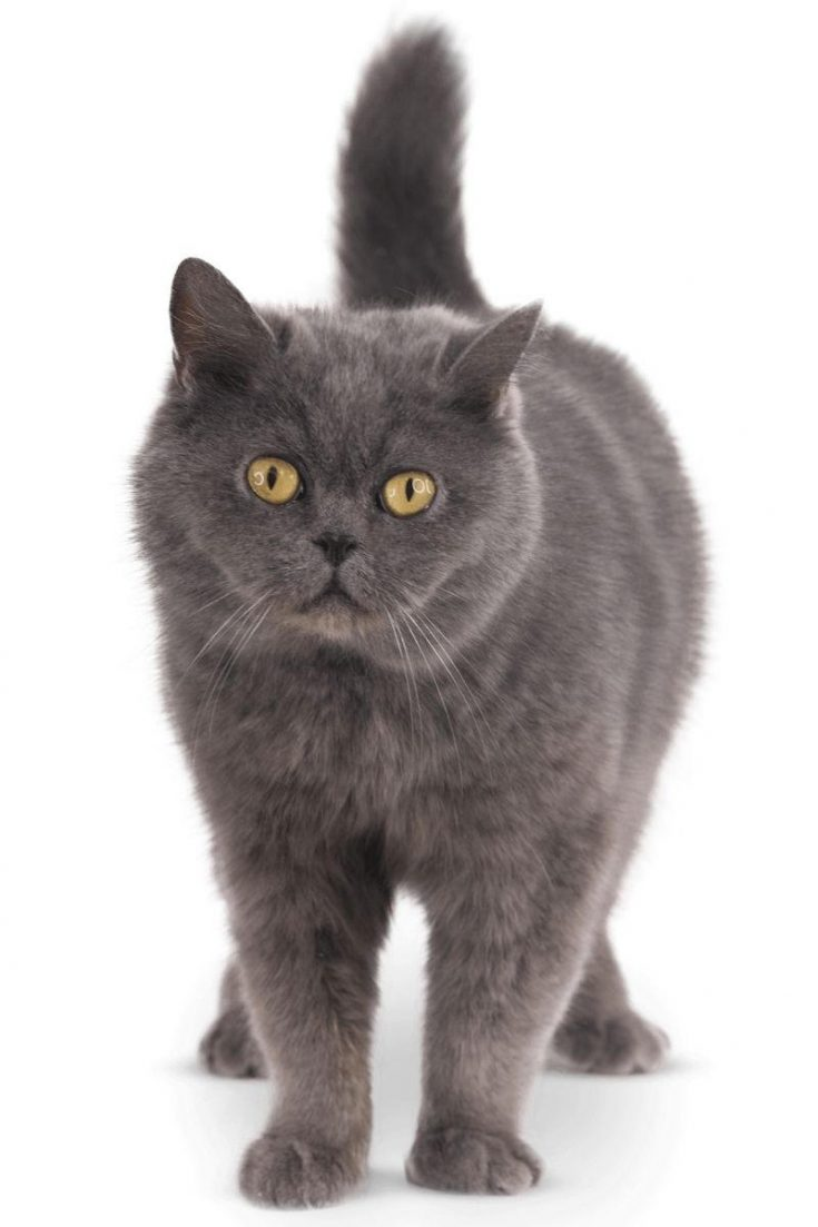 A grey cat with orange eyes staring at the lens.