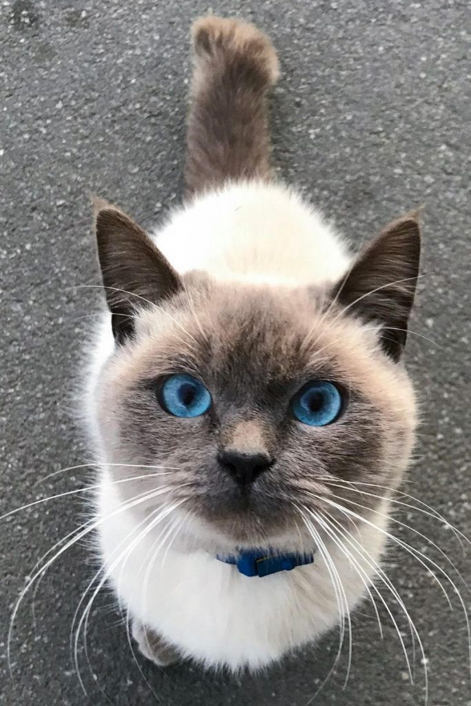 A blue-eyed cat looking up at teh camera lens.