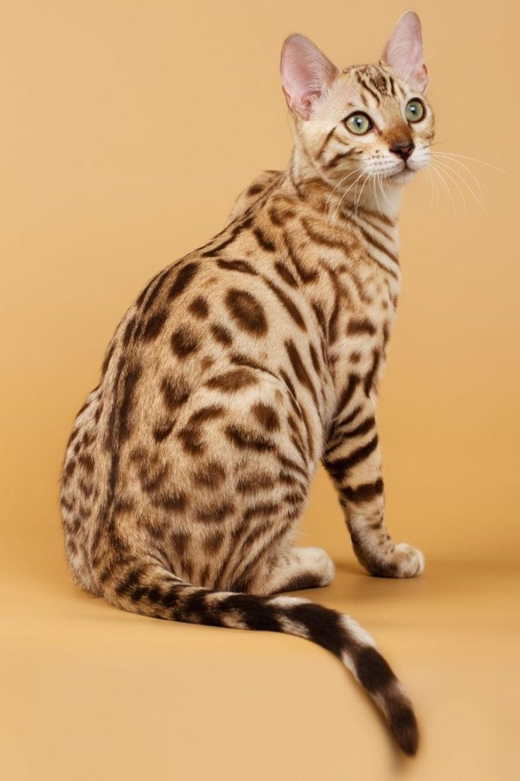 A Bengal cat with a spotted tabby pattern.