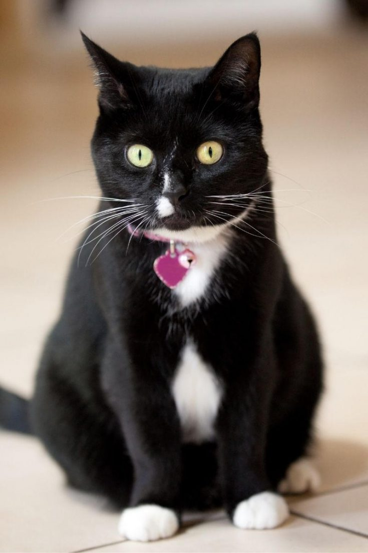 A tuxedo cat with a pink collar tag.