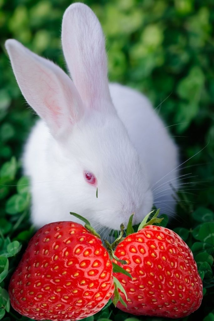 A white rabbit eating two strawberries.