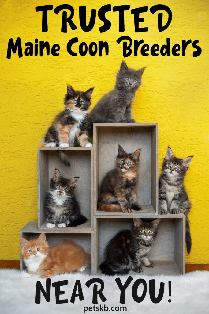 How-to-find-a-trusted-Maine-Coon-breeder-near-you.