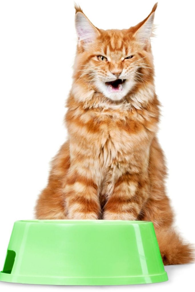 A red tabby Maine Coon sitting behind a bowl of cooked chicken.