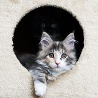 A Maine Coon kitten from a trusted Maine Coon breeder.