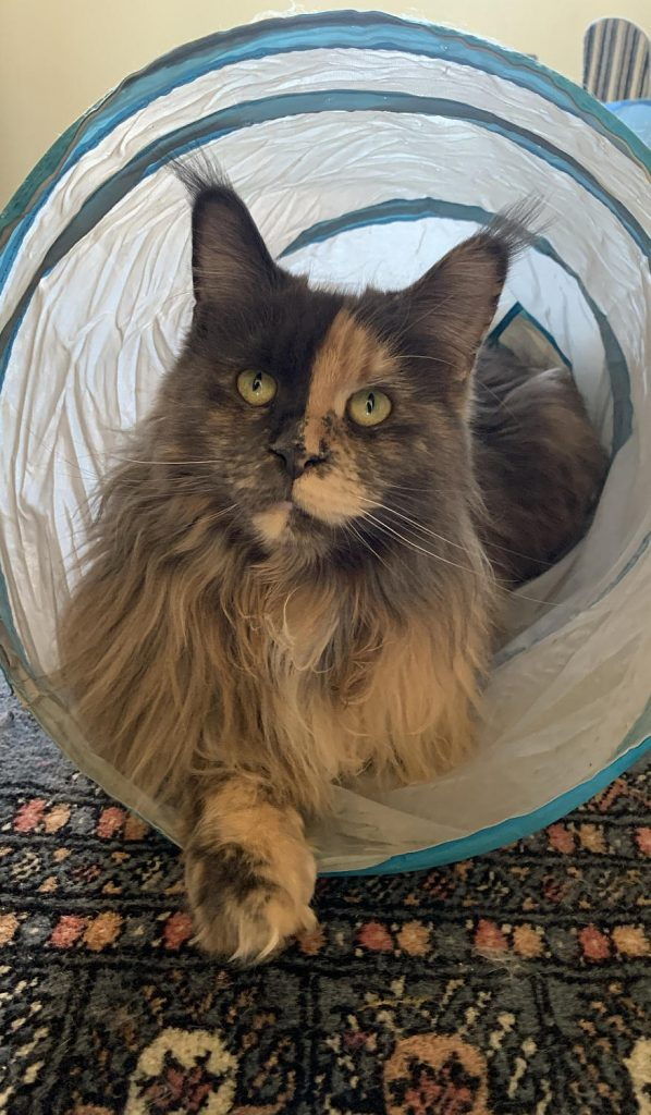 A blue smoke tortoiseshell Maine Coon in a cat tunnel.