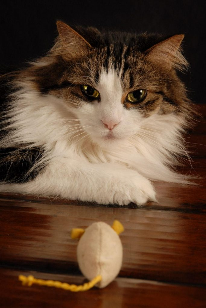 A fluffy cat staring at a toy mouse.