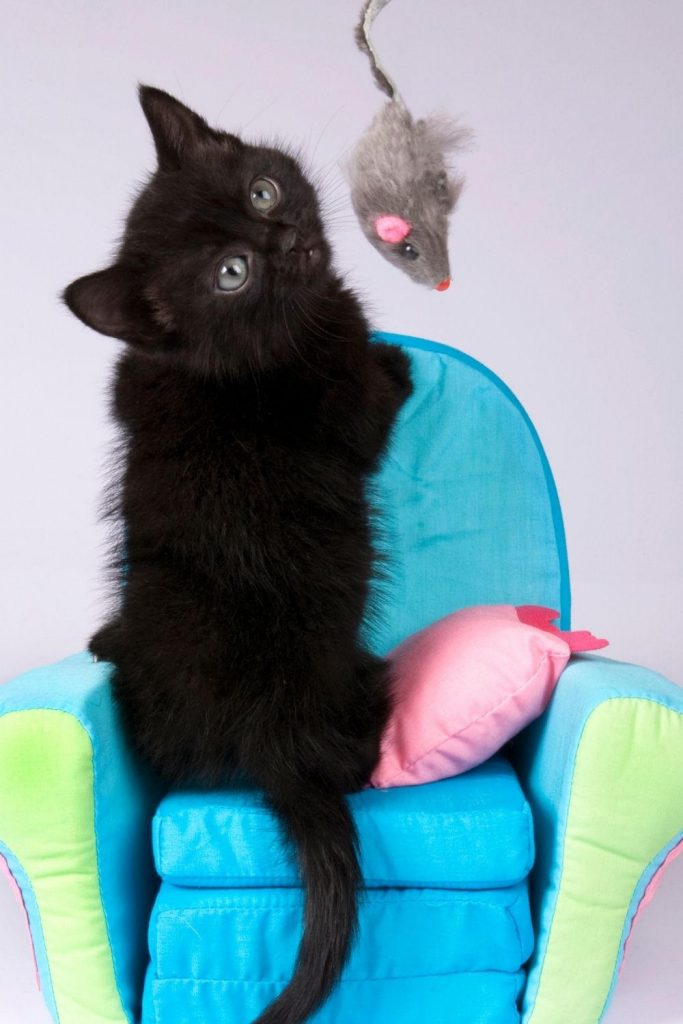 A black kitten on a small armchair looking at a dangling toy mouse.