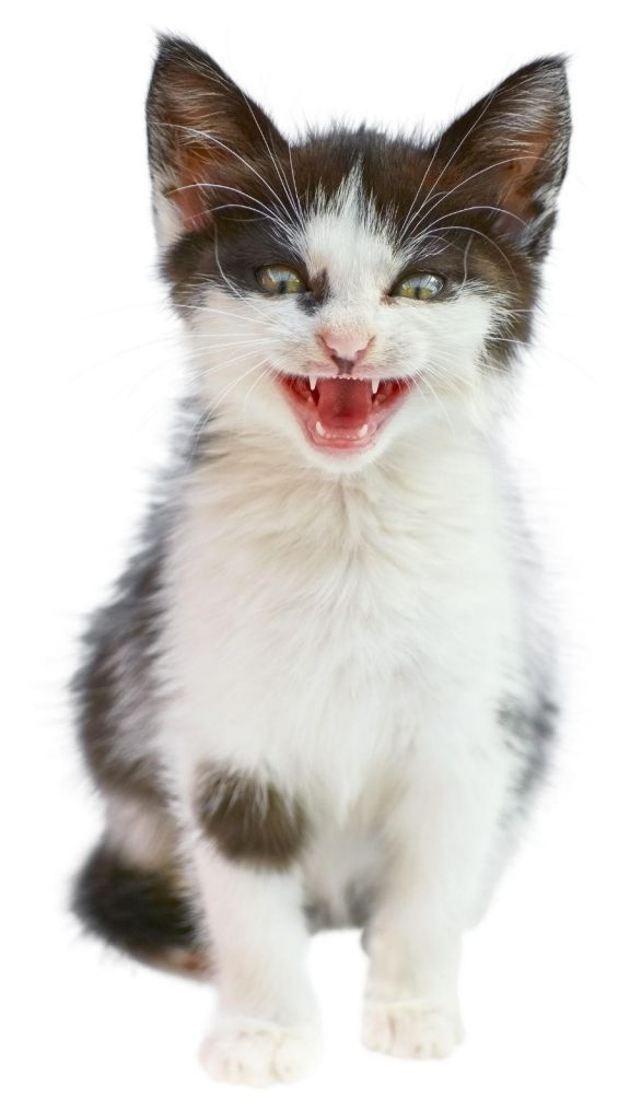 A black and white kitten seated with its mouth slightly open, looking cheeky.
