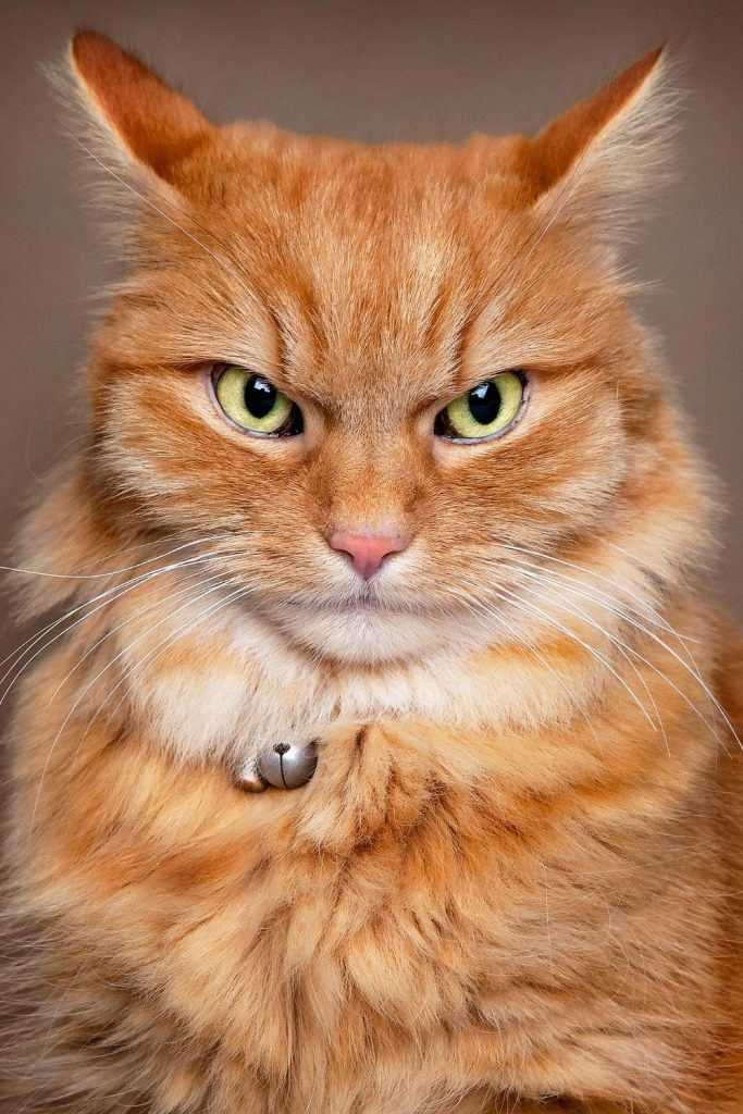 A red tabby cat looking angrily at the camera.
