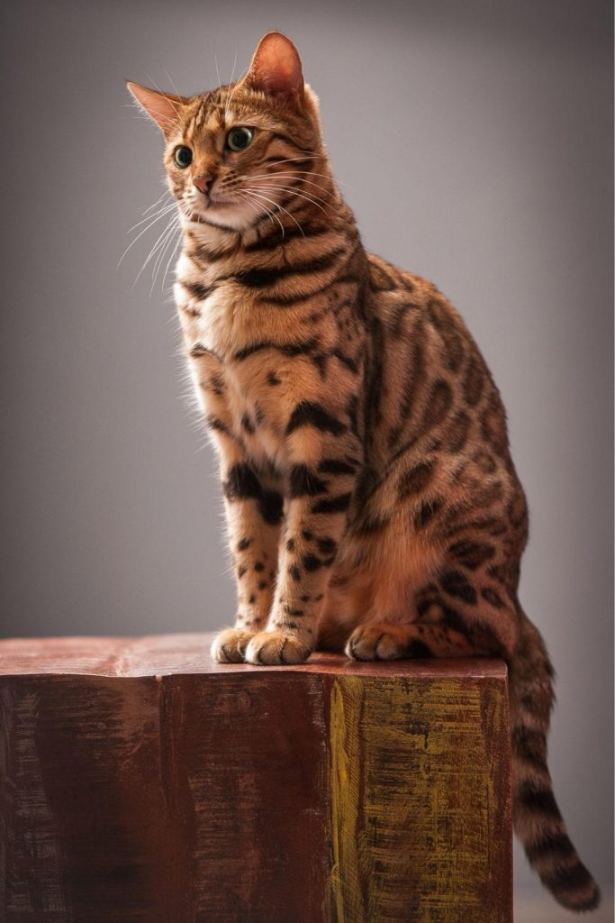 A Bengal cat sitting on a block of wood.