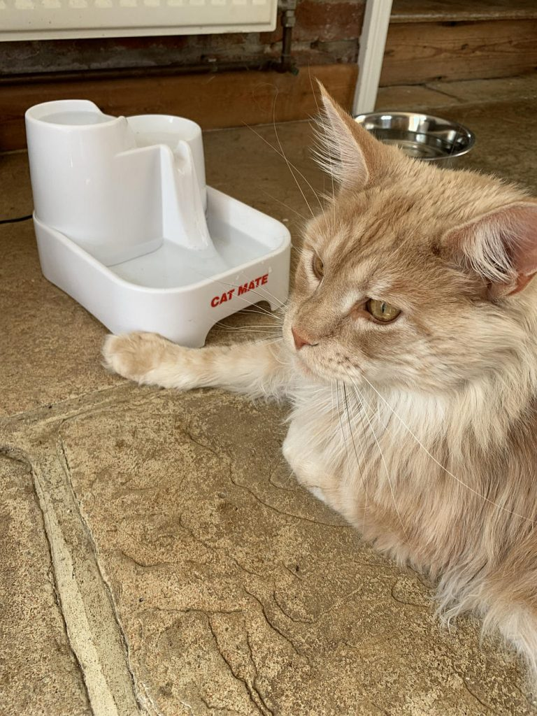 A red smoke Maine Coon lying next to a cat drinking fountain.