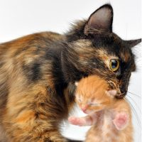 A mother cat carrying a kitten in her mouth.