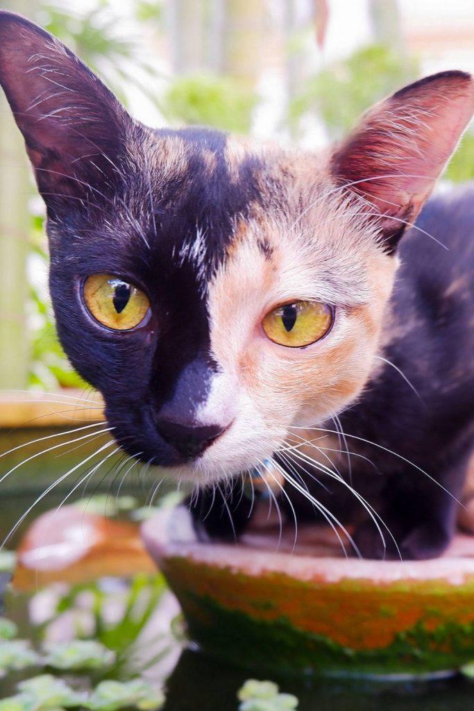 A chimera cat.