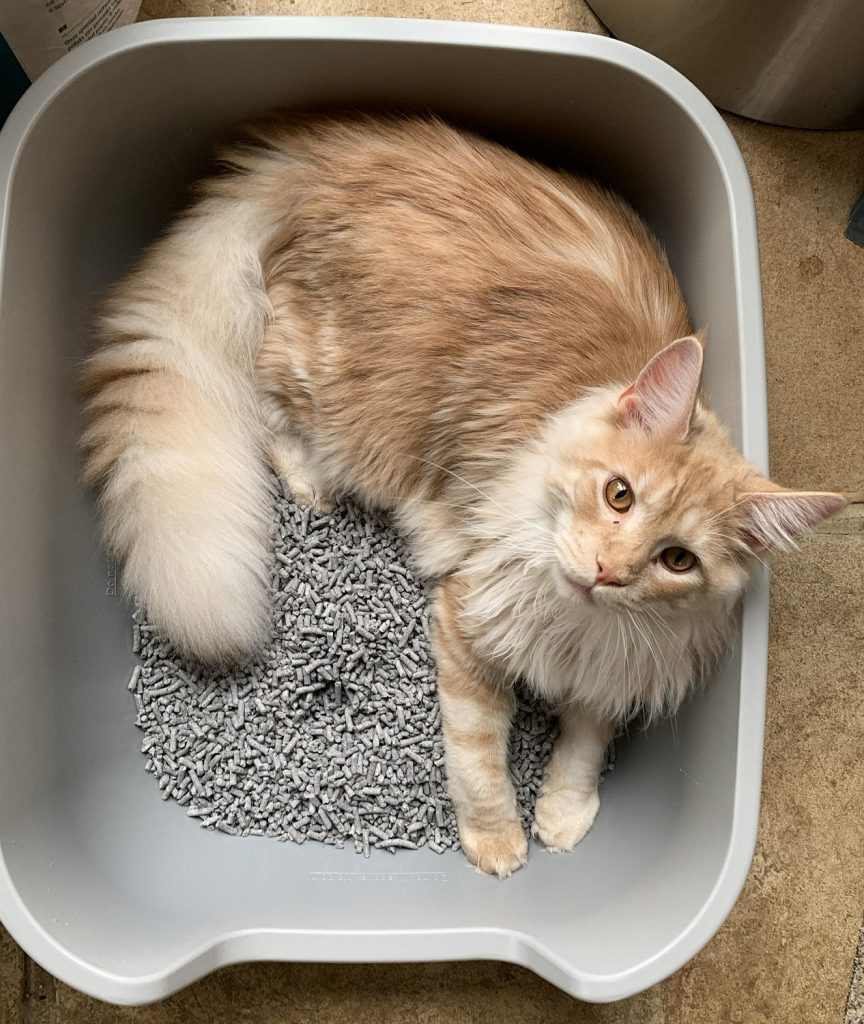 A red Maine Coon lying in a litter tray.