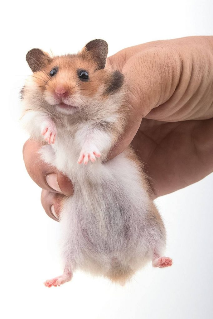 A hamster not happy at being picked up incorrectly.