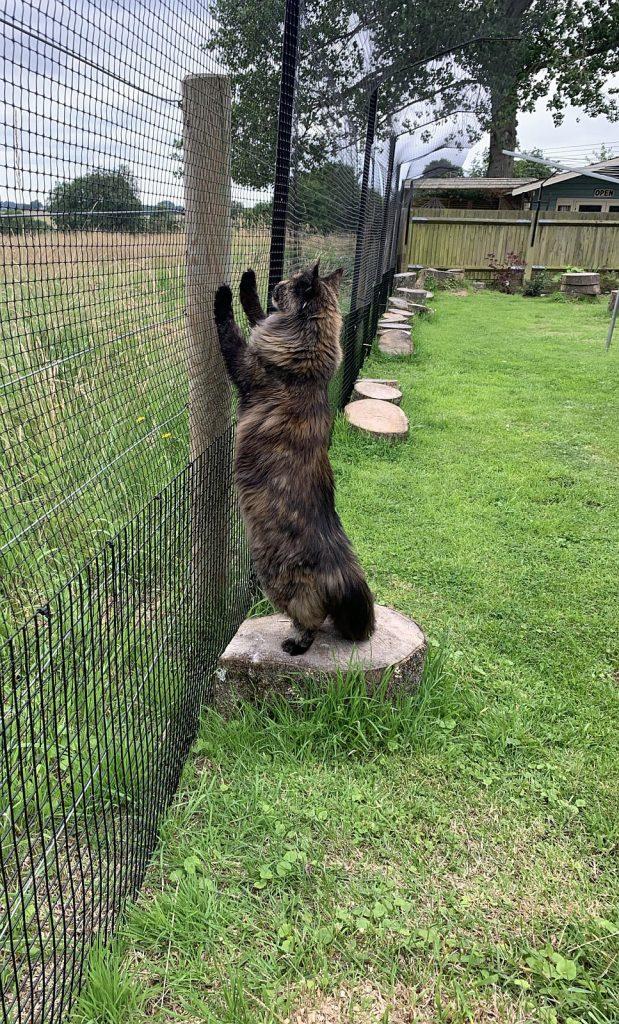 A Maine Coon in a cat-safe garden.