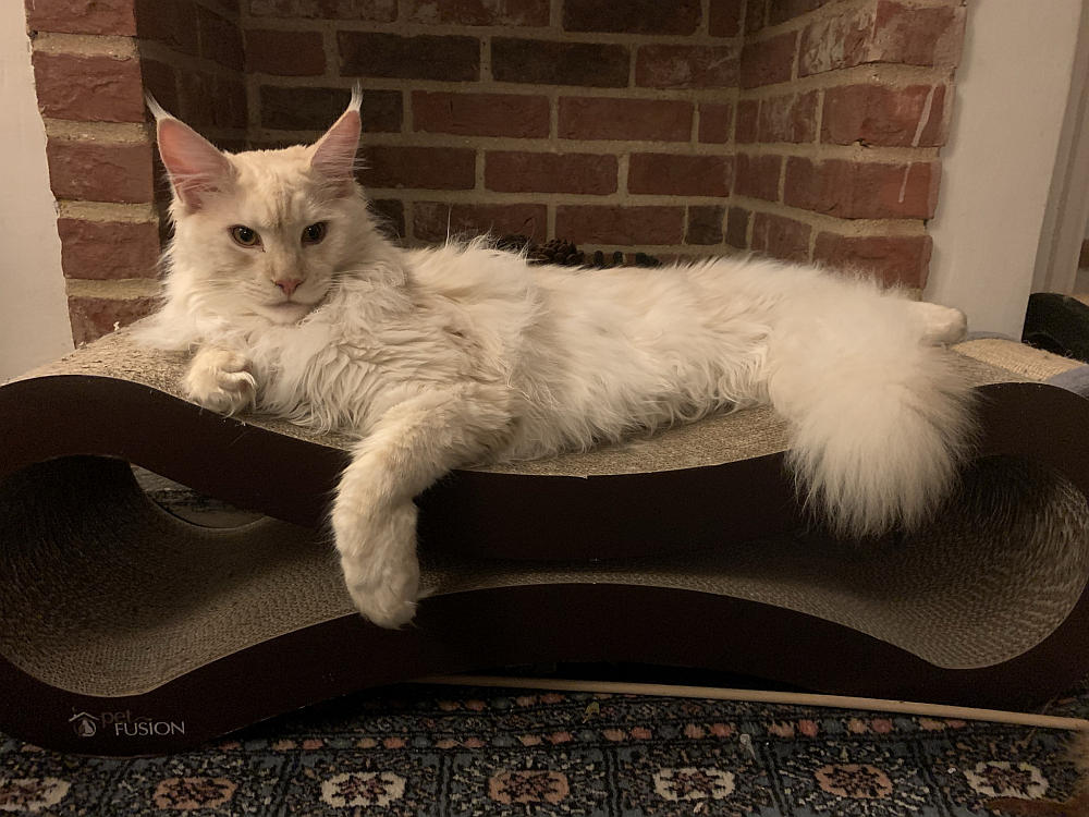 A Maine Coon cat on a PetFusion scratcher lounger.