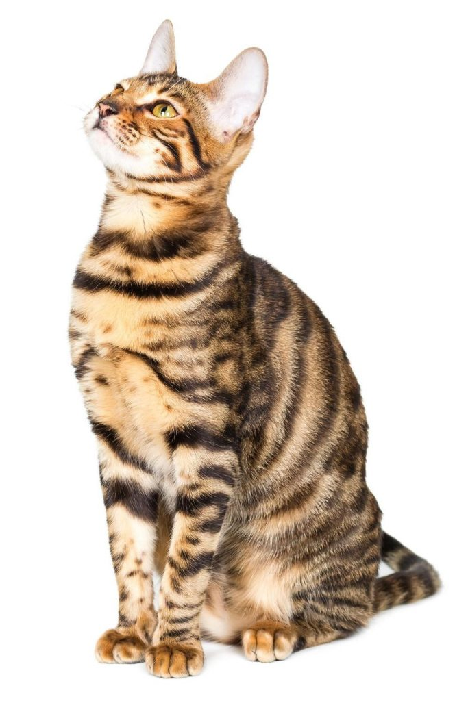 A Toyger cat showing off his tiger stripes.