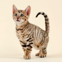 A Toyger kitten with tiger cat stripes.