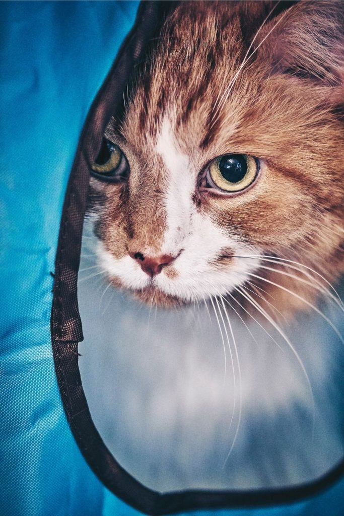 A cat avoiding people by hiding in a pop-up tent.