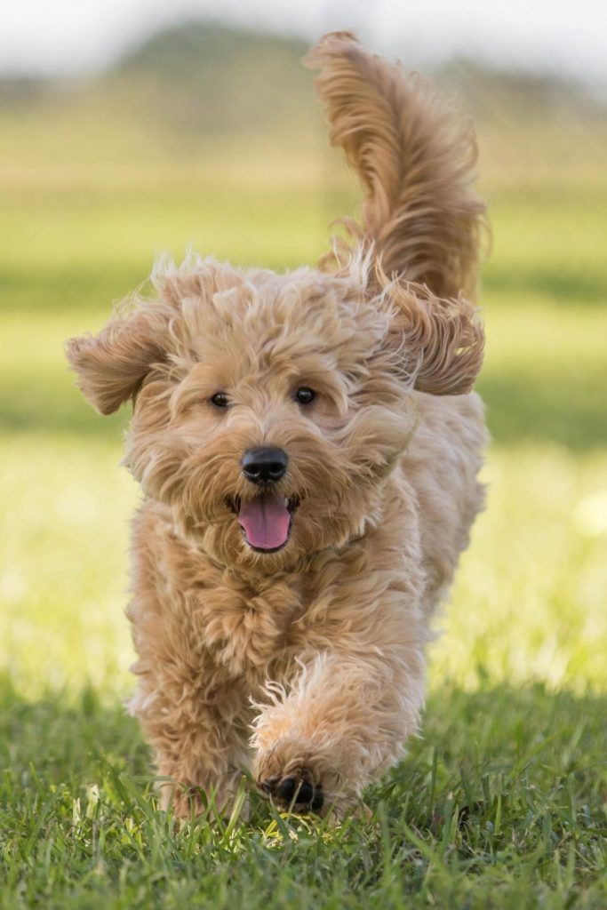 A young Goldendoodle running through grass.