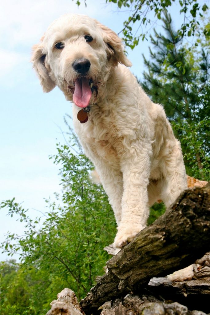 A Goldendoodle sitting on logs.