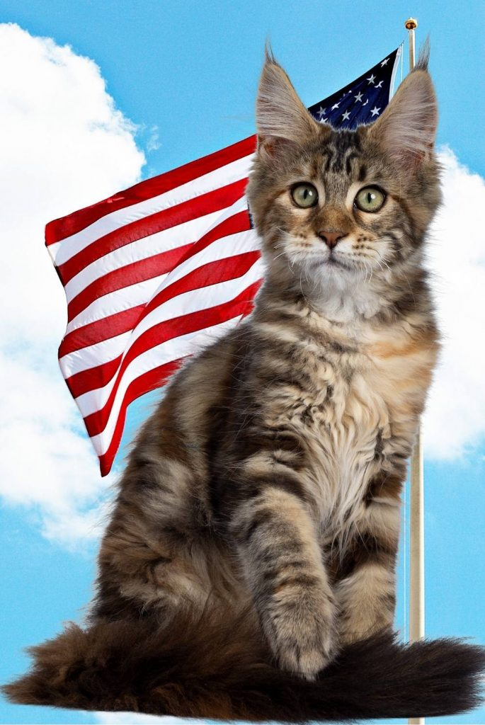 A tabby Maine Coon in front of a US flag.