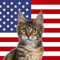 Maine Coon breeders in the USA