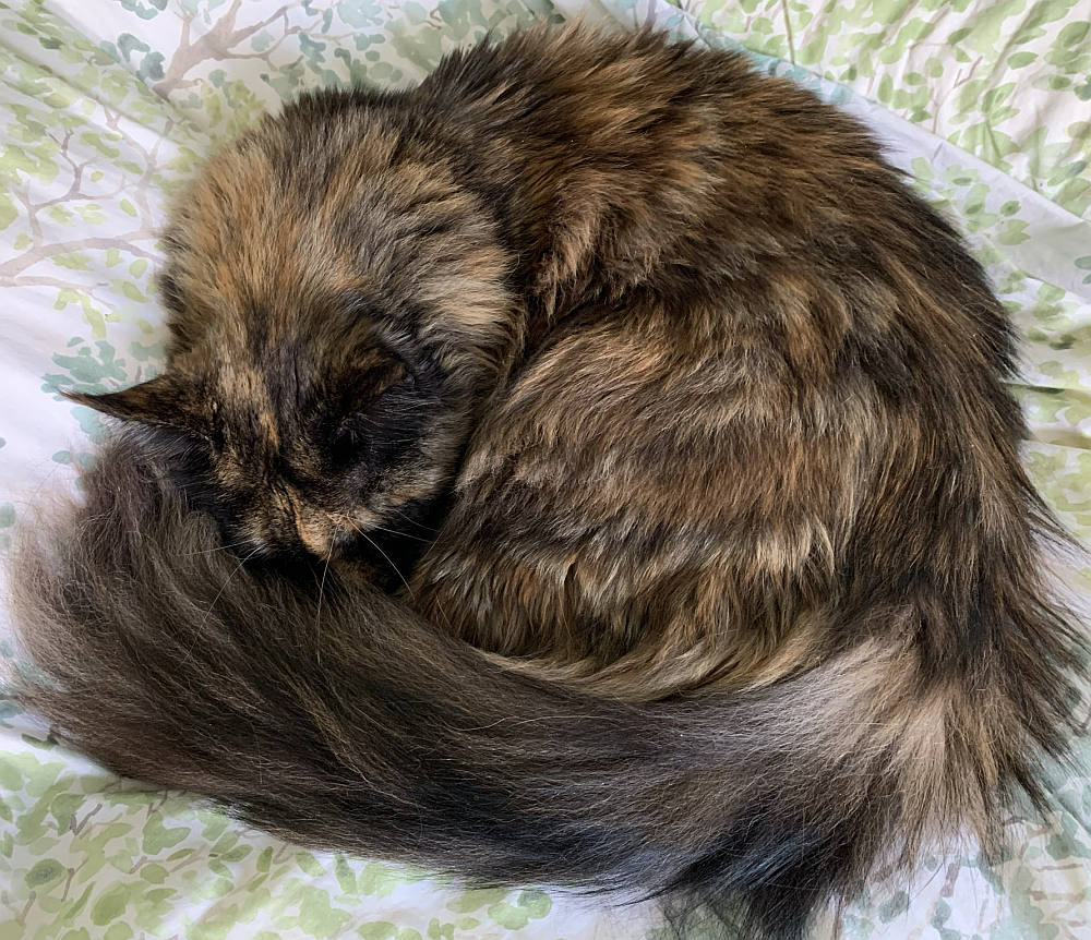 A Maine Coon with her long tail wrapped tightly around her body for warmth.